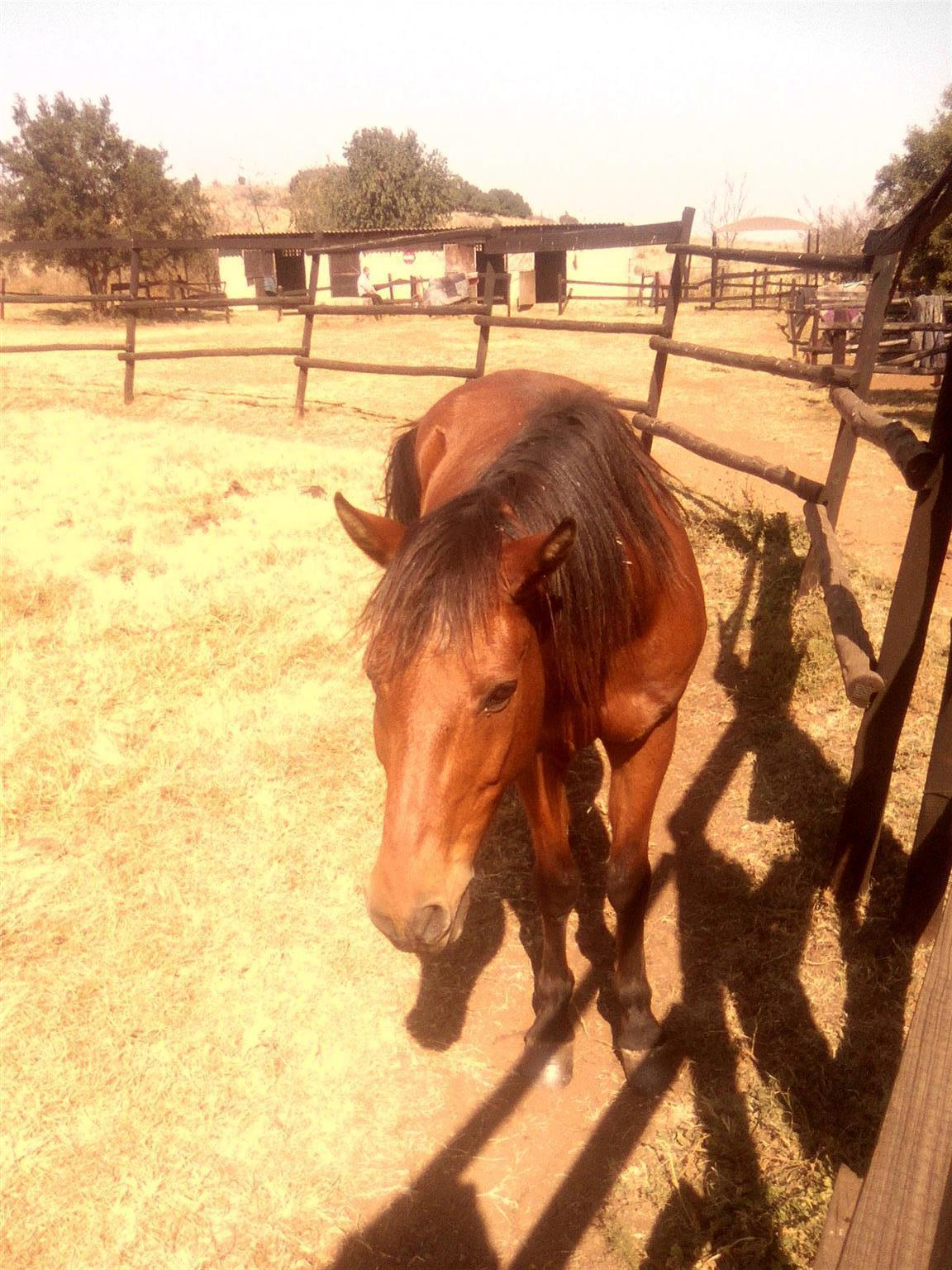 Nooitgedacht Gelding for sale