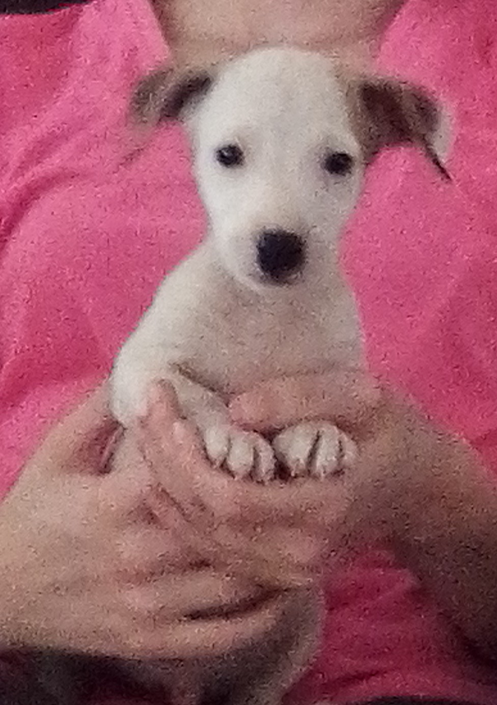 Jack Russel puppies,8 weeks, vaccinated, dewormed and vet checked
