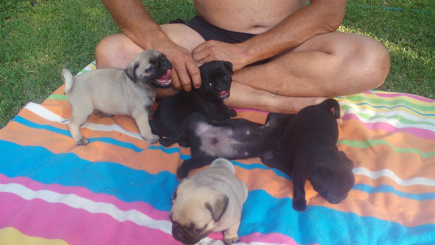 PUG PUPPIES black males Pretoria East