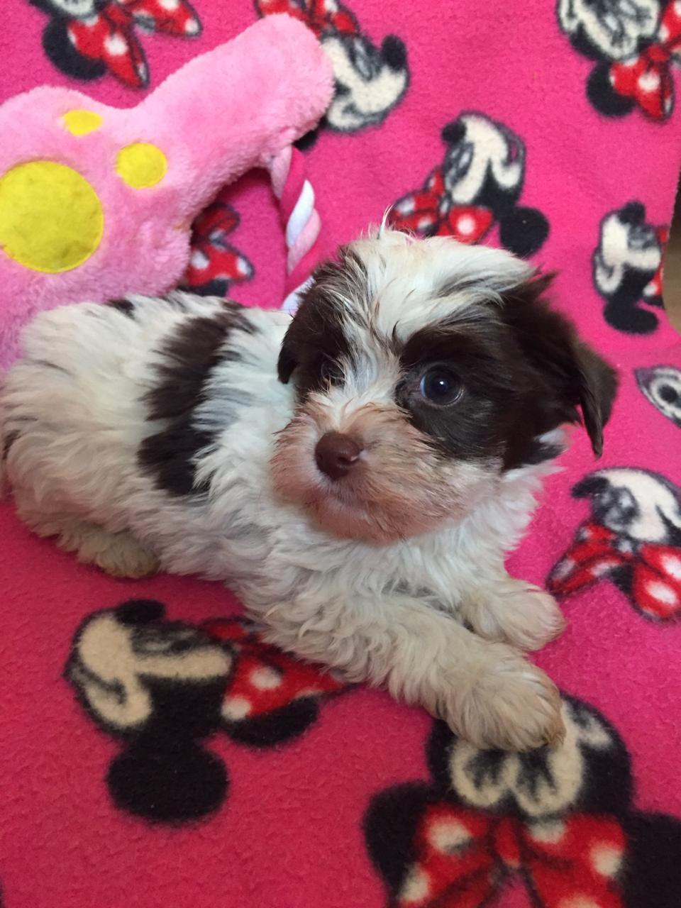 Beautiful yorkshire terrier puppies