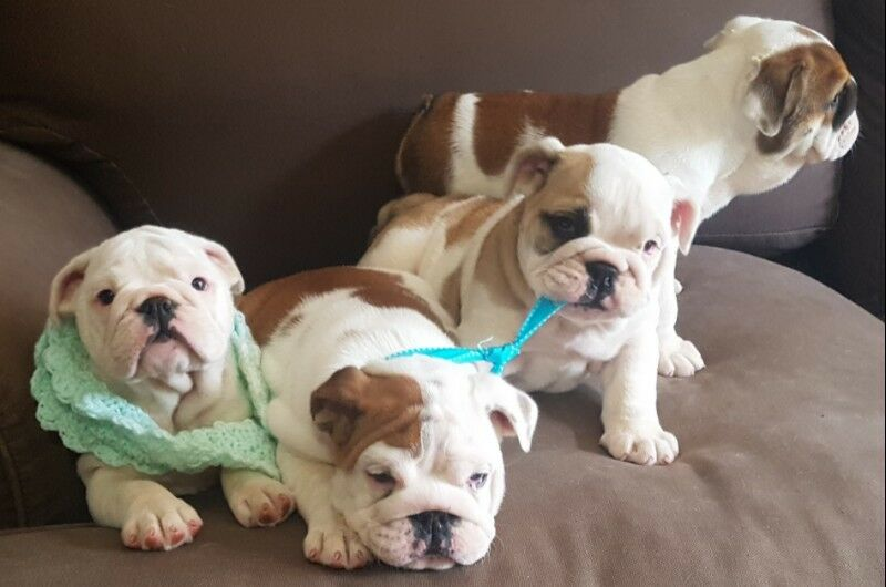 Well bred bulldog puppies for sale