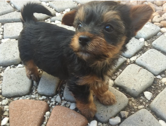 yorkie puppies adorable 8 weeks old junk mail