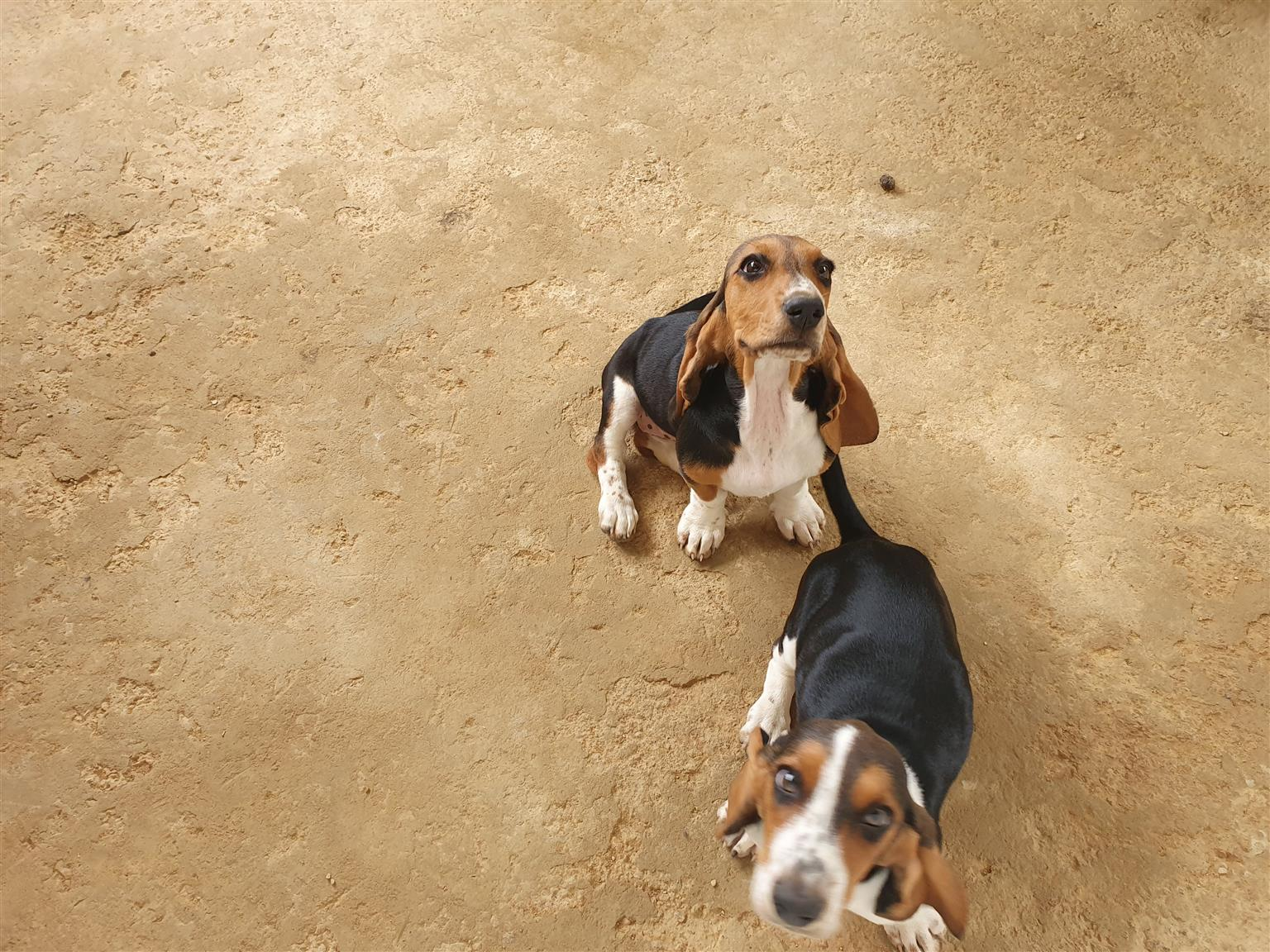 basset female puppies
