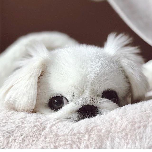 Pekingese Puppy (Short legs Miniature)