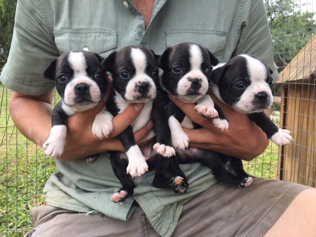 BOSTON TERRIER PUPPIES FOR SALE!!