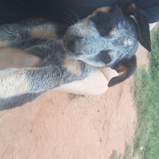 Australian cattle dog  inoculated twice