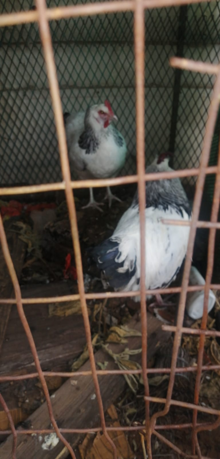 Light Sussex Chickens for Sale