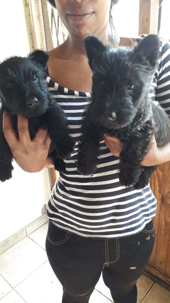 SCOTTISH TERRIER PUPPIES LOOKING FOR FOREVER HOMES