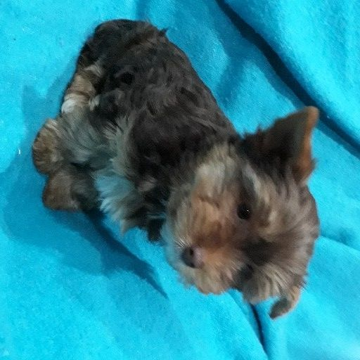 Yorkshire terrier babas