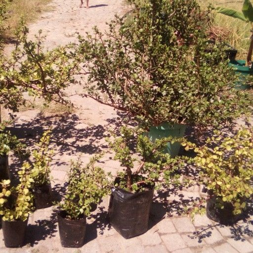 spekboom plants