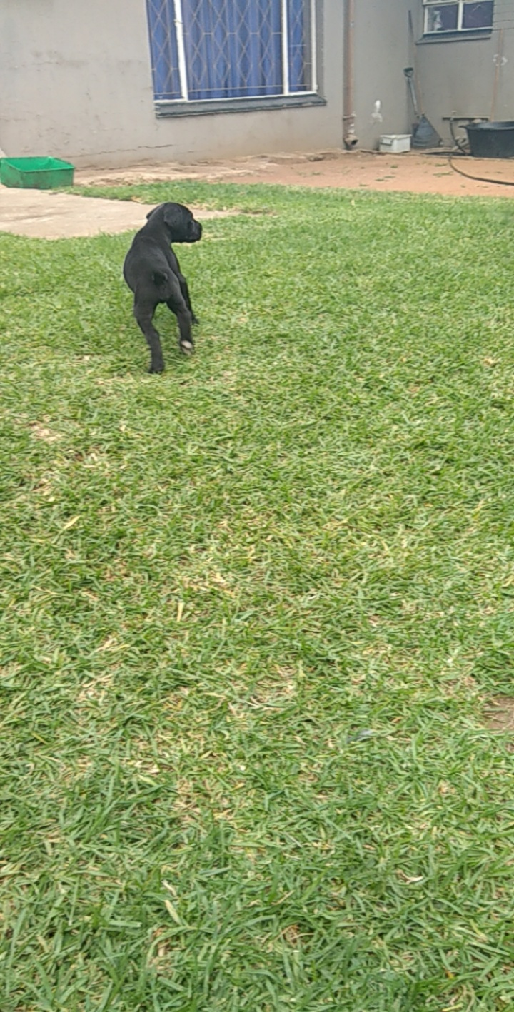 Great Dane puppies looking for a family