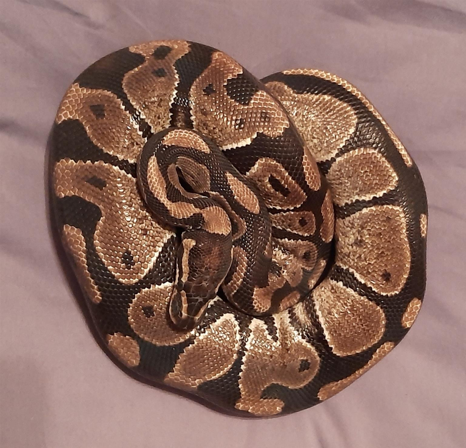 Ball python pair for sale