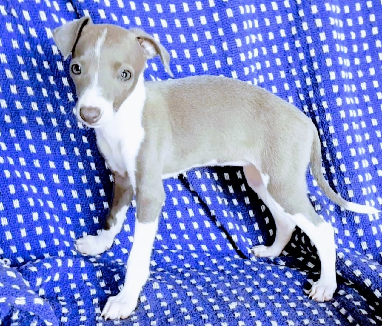 Stunning purebred Italian Greyhound puppies for sale