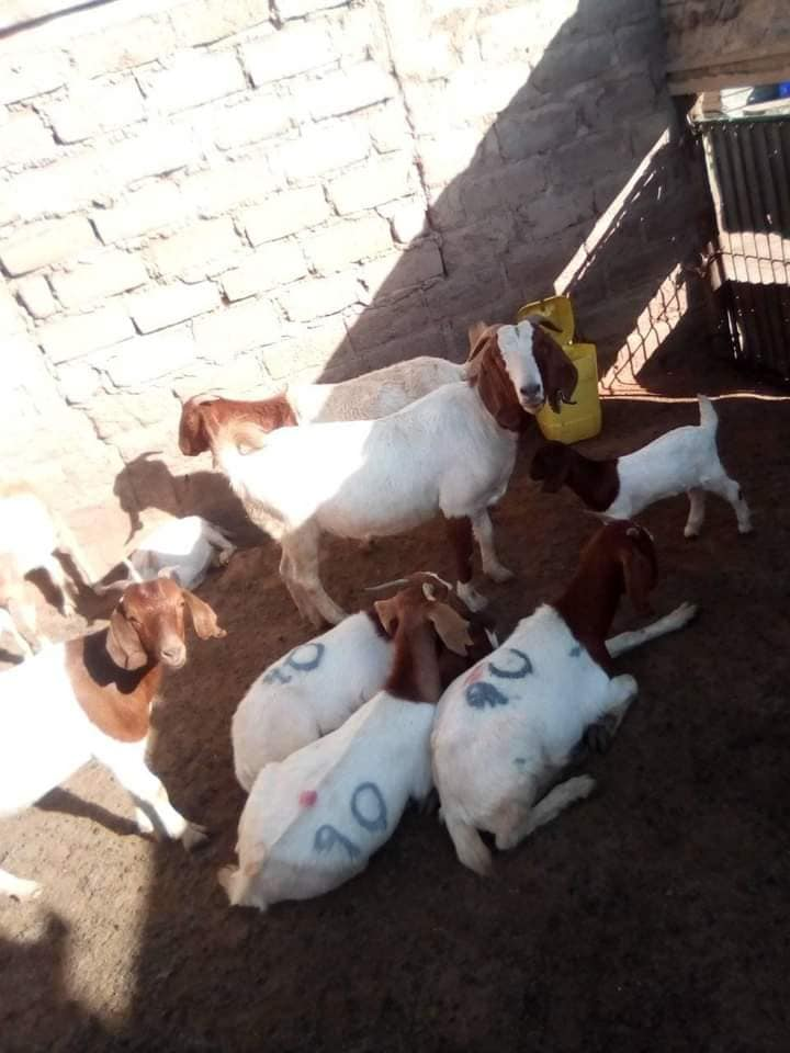 Boer Goats Stock available