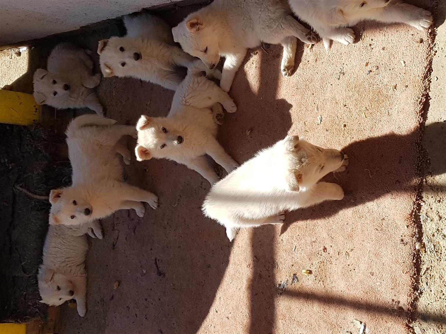Swiss Shepherd Puppies for Sale born 06/12/2019