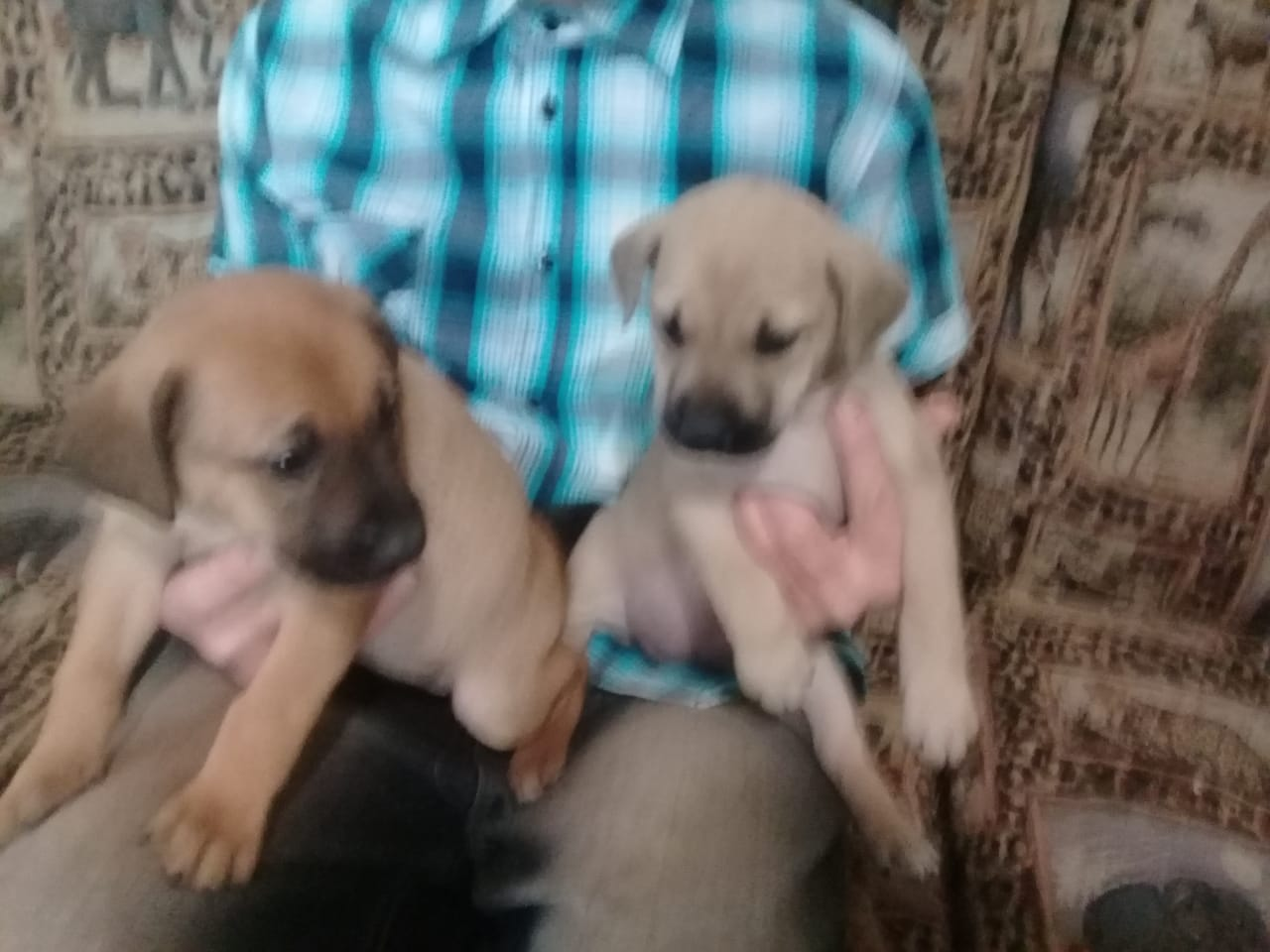 German shepherd cross Labrador pups very loving are ready for their new loving homes.