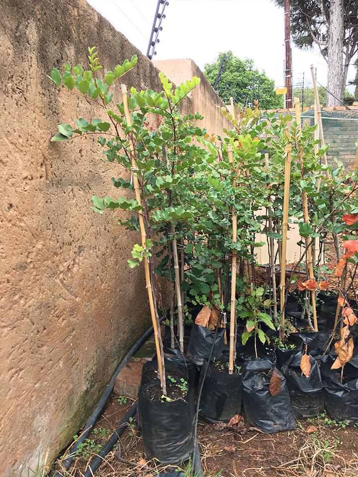 Chocolate trees for sale (Carob Tree)