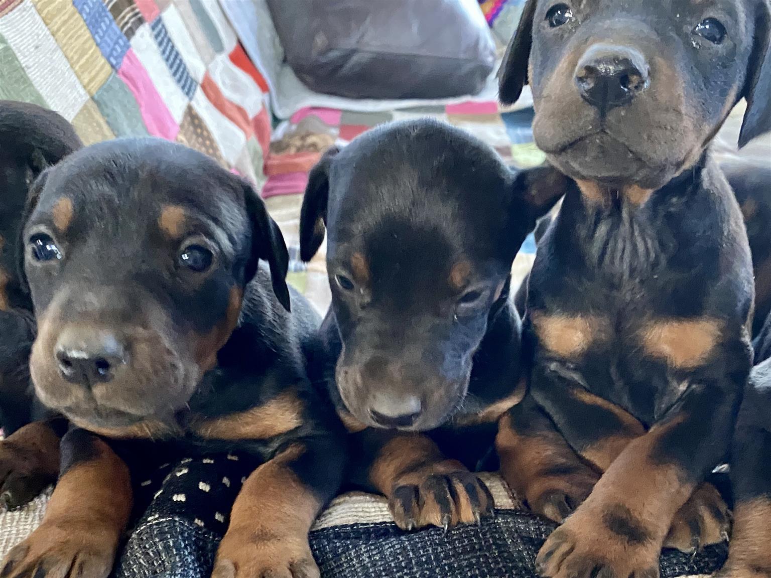 Doberman Puppies