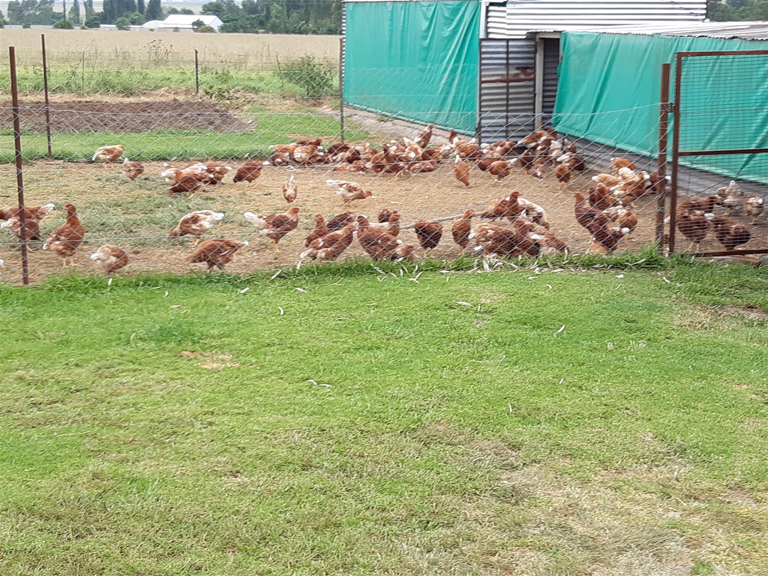 POINT OF LAY READY ON 10 FEB. VACCINATED. LOHMANN BROWN 20 WEEKS OLD NEW HEN`S