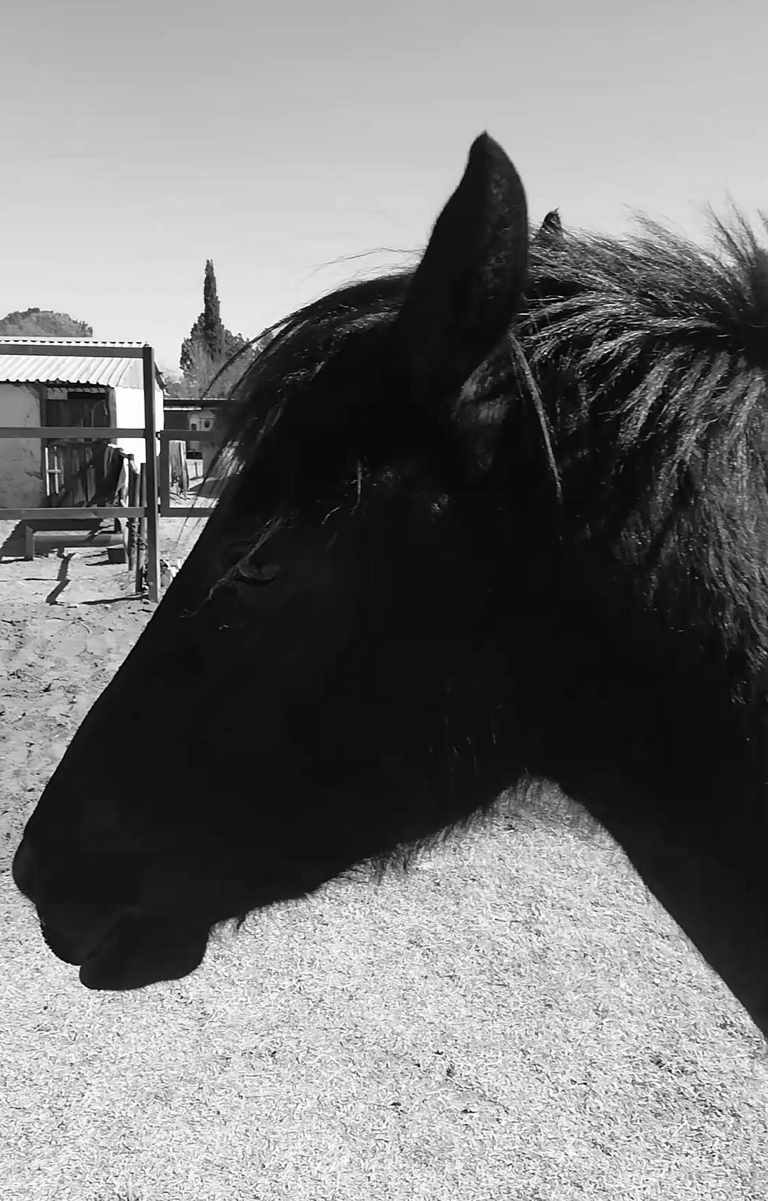 Beautiful black boerperd x mare.
