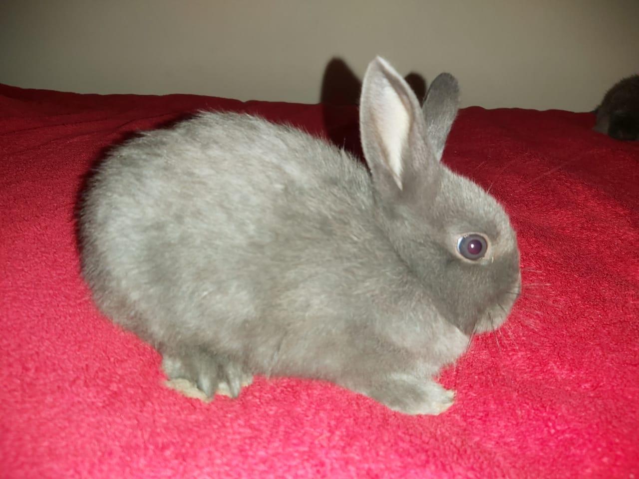 Urgent sale 2 x dwarf bunnies