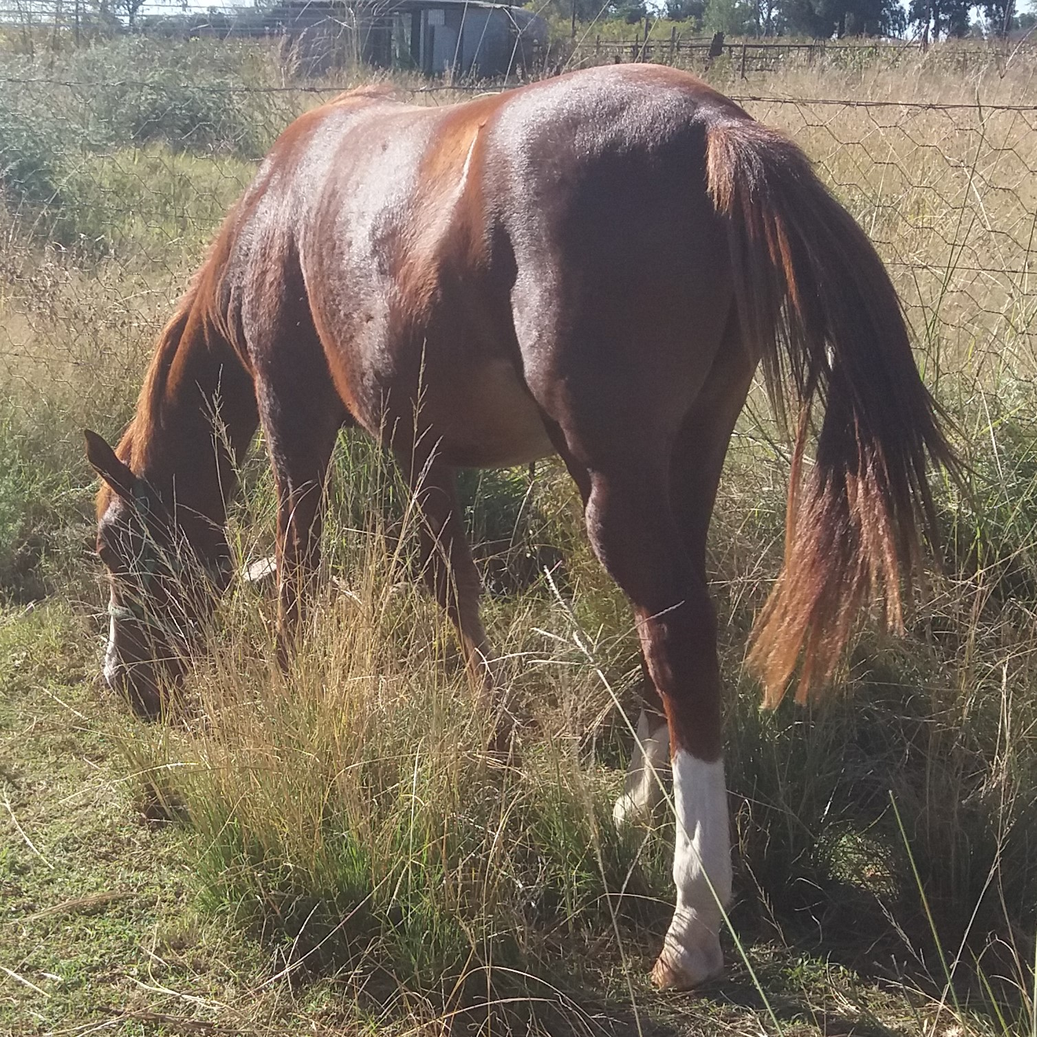 Beautiful Brown and White Horse For Sale