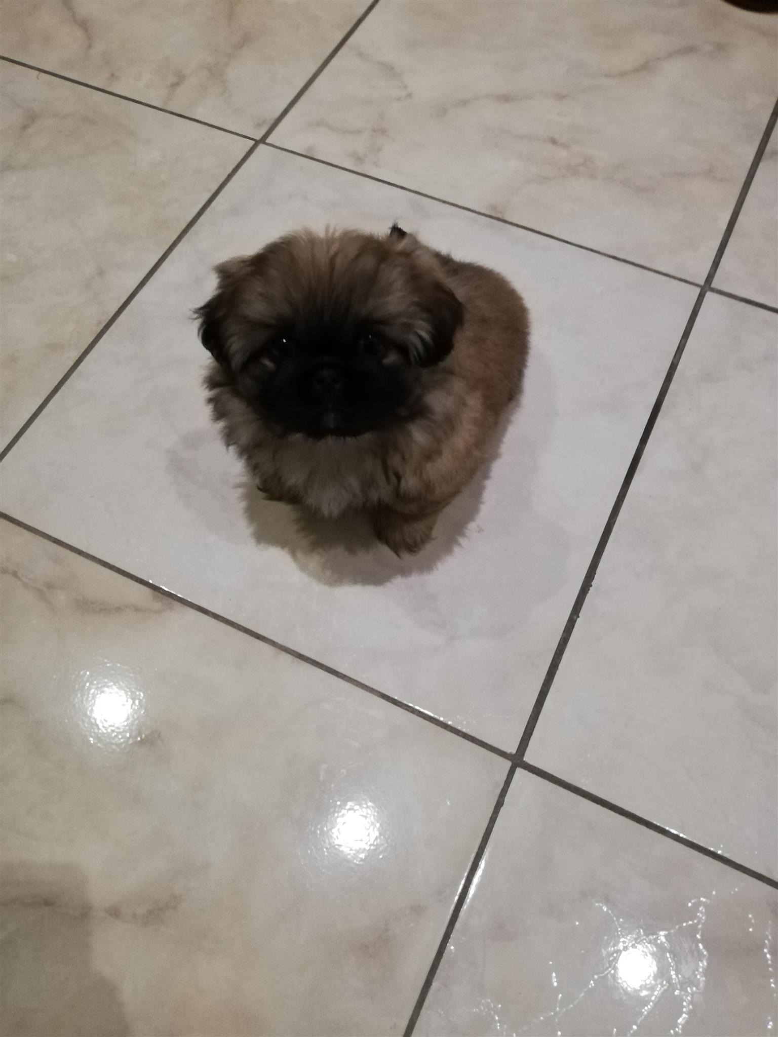 Pekingese male puppy for sale