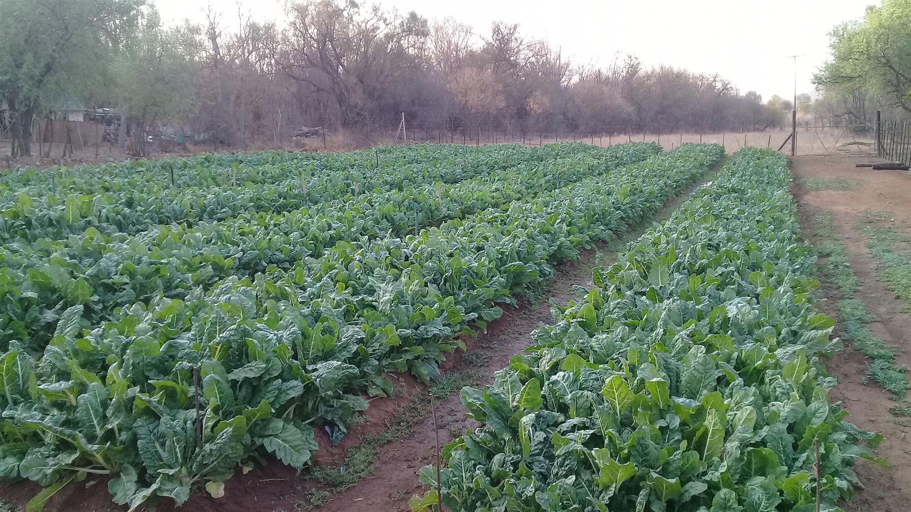 Spinach (bulk)