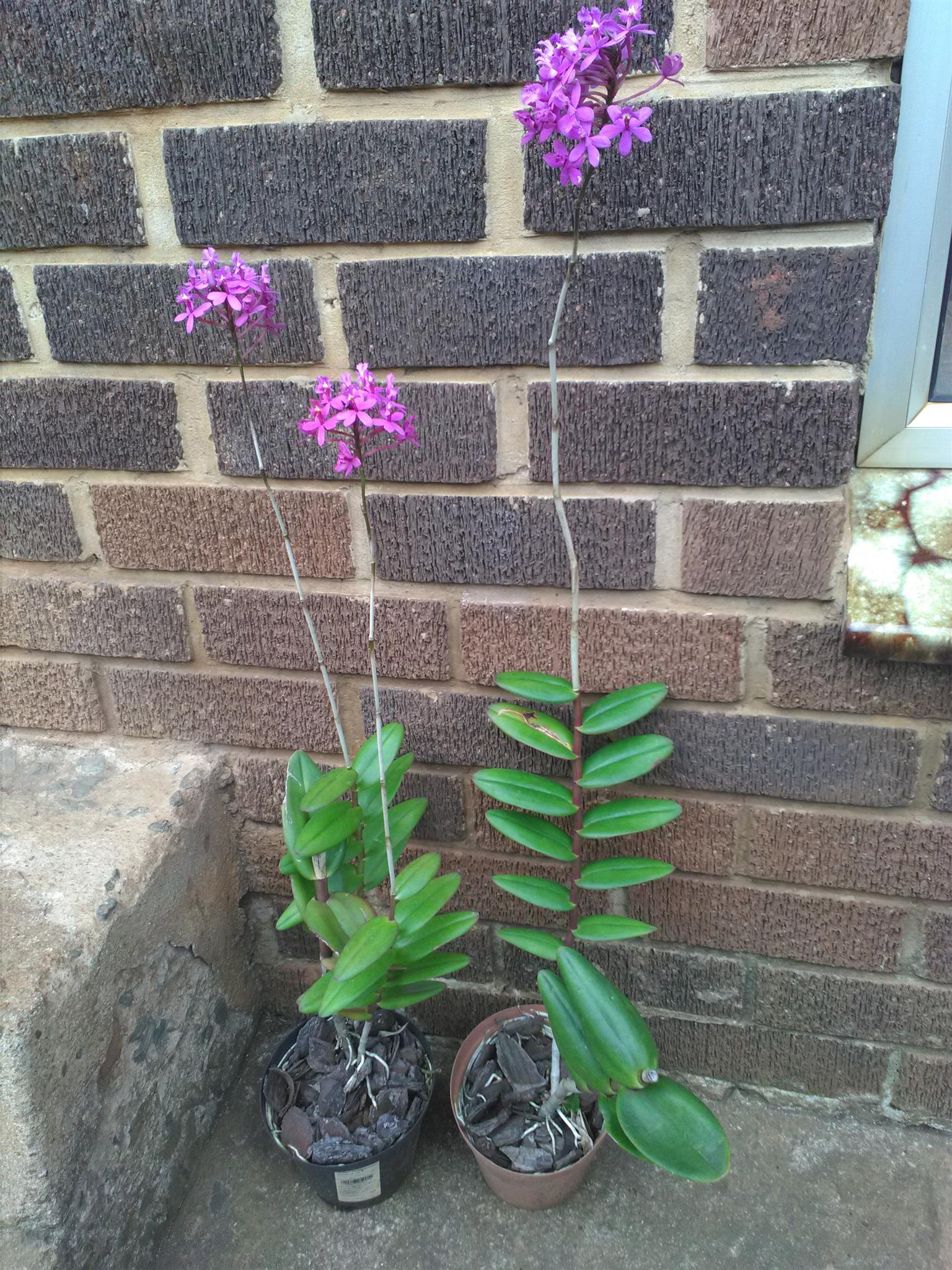 Poor person's Orchid for sale. R20 each