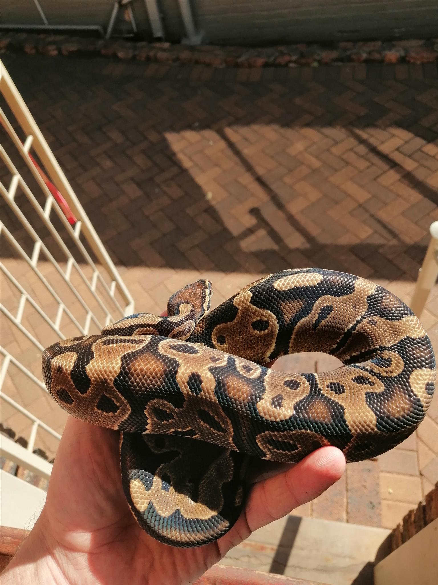 Ball python yearling