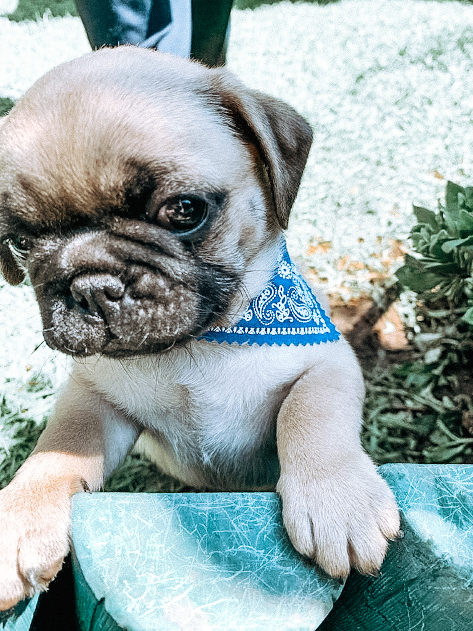 Fawn Pugs Puppies for Sale