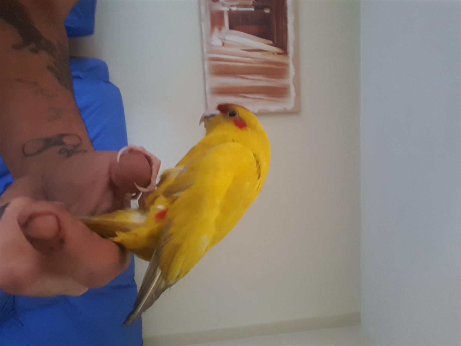 Yellow kakariki  parrot very tam