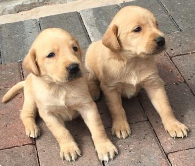 Labrador Retrievers For Sale.