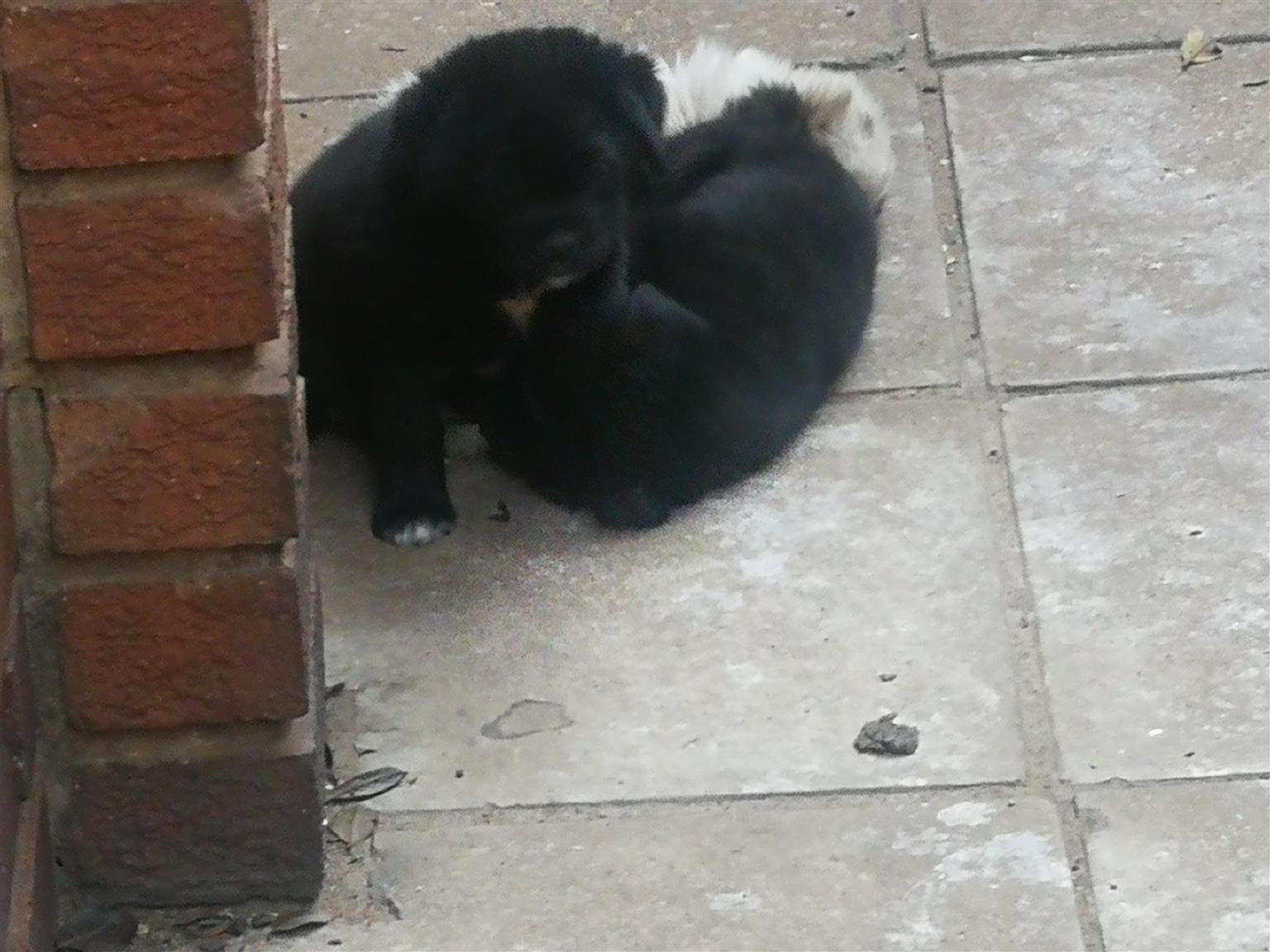 Labrador mix Japanese Chin hondjies