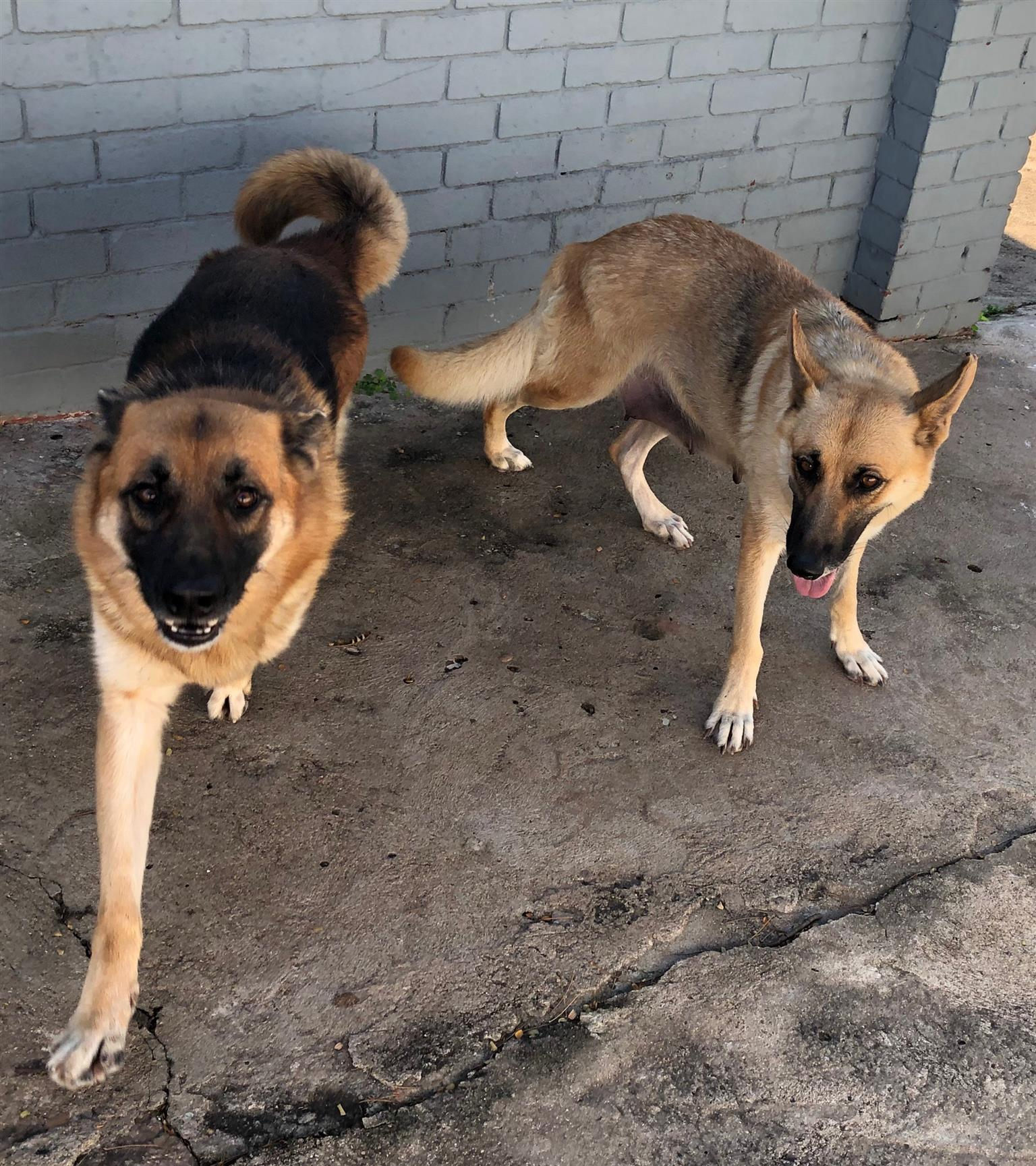 Thorough bred German Shepherd puppies for sale