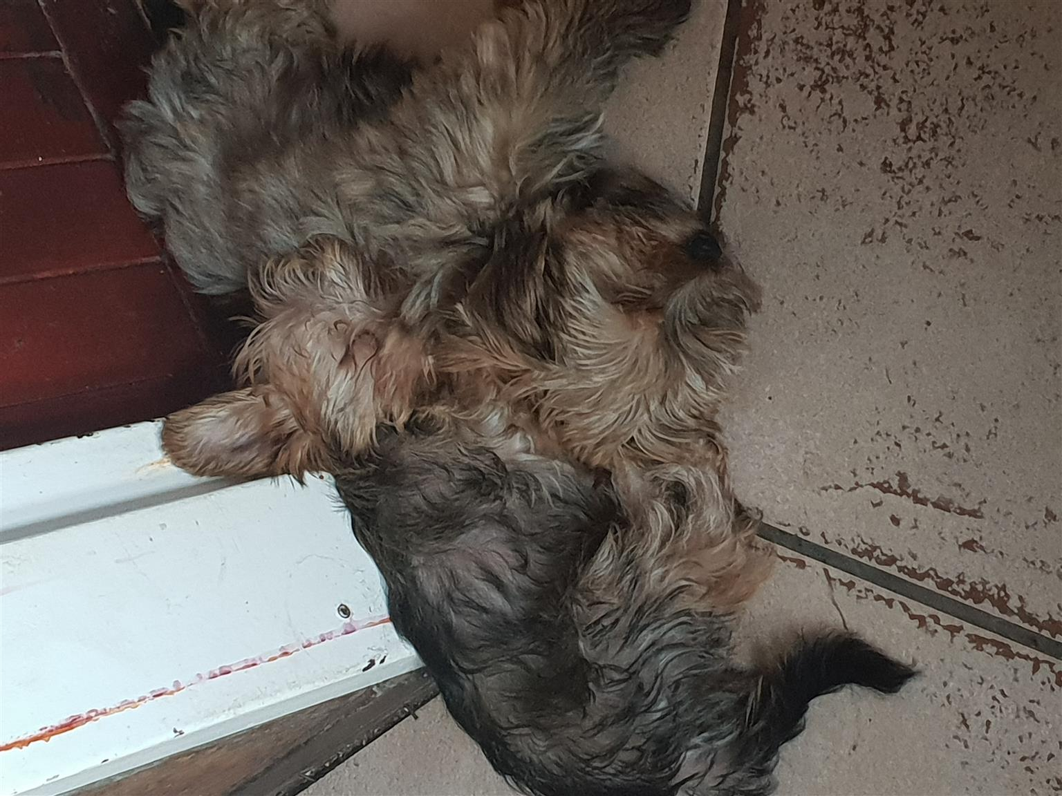 2 female standard size Sable yorkies for sale
