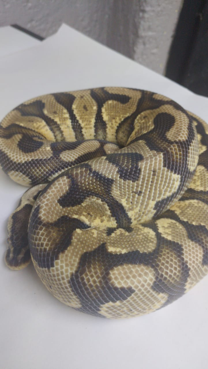 Pastel Yellow Belly male Ball pythone