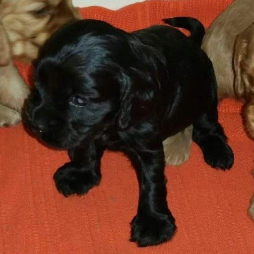 Golden and Black spaniel puppies