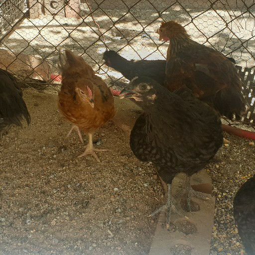 young chickens