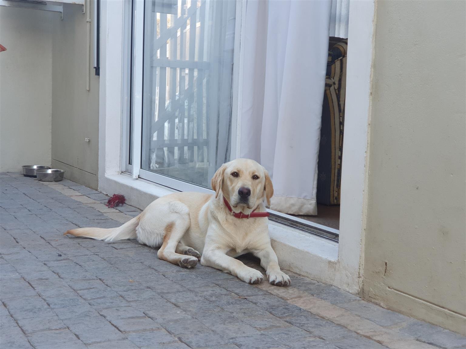 LABRADOR X puppies for sale