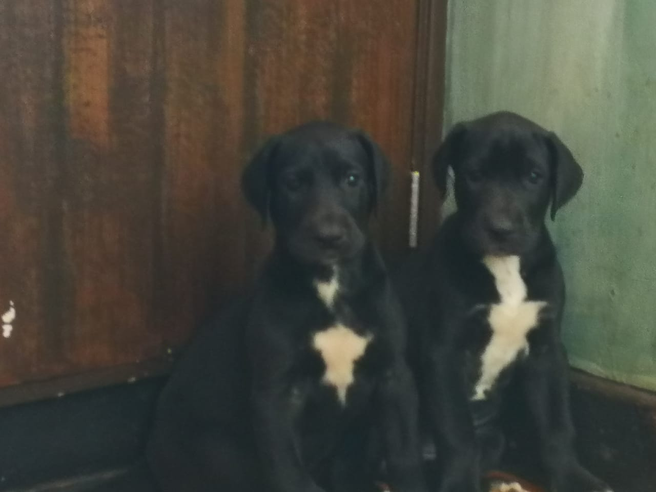 Gorgeous Registered Great Dane puppies available immediately