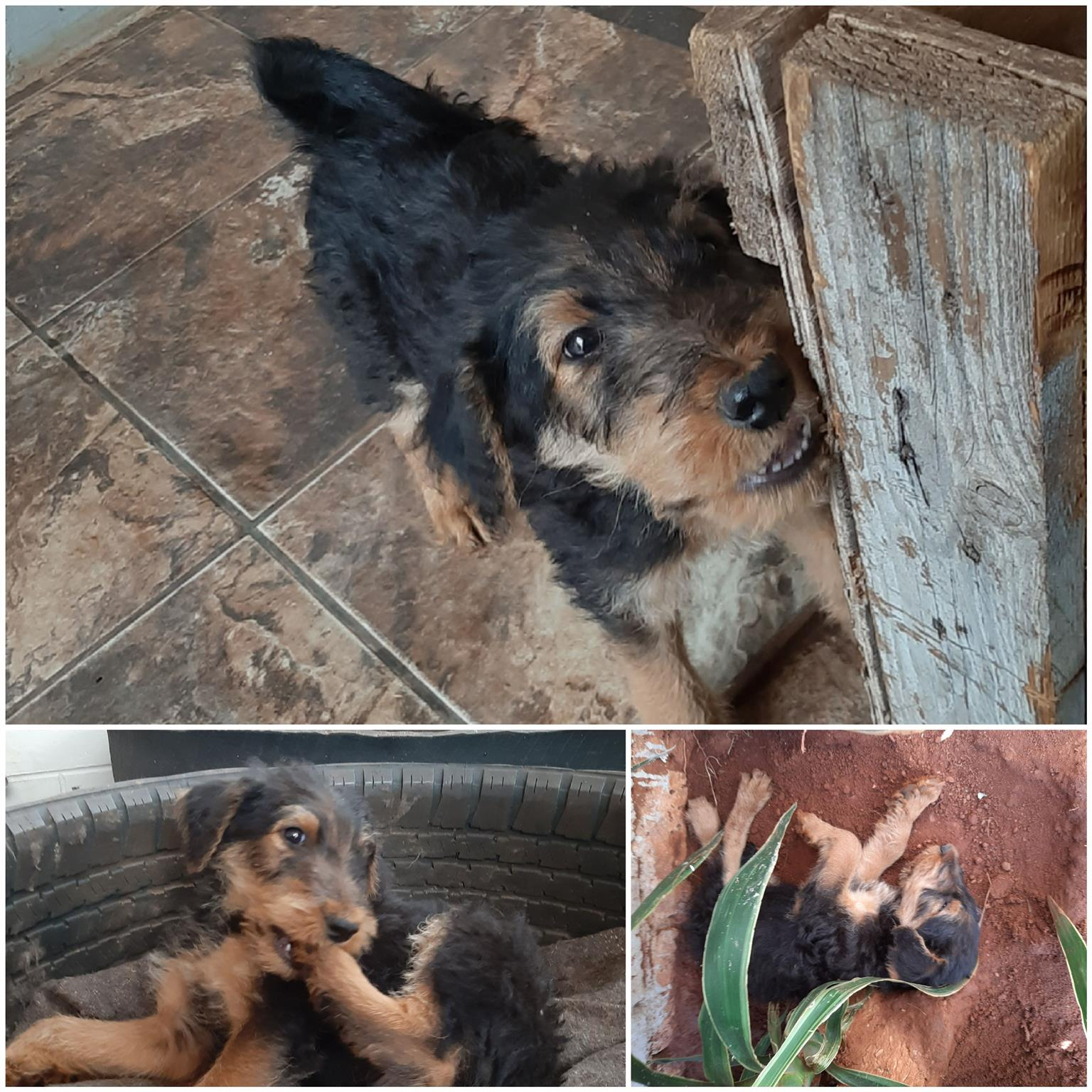 AIREDALE TERRIER PUPPIES FOR SALE