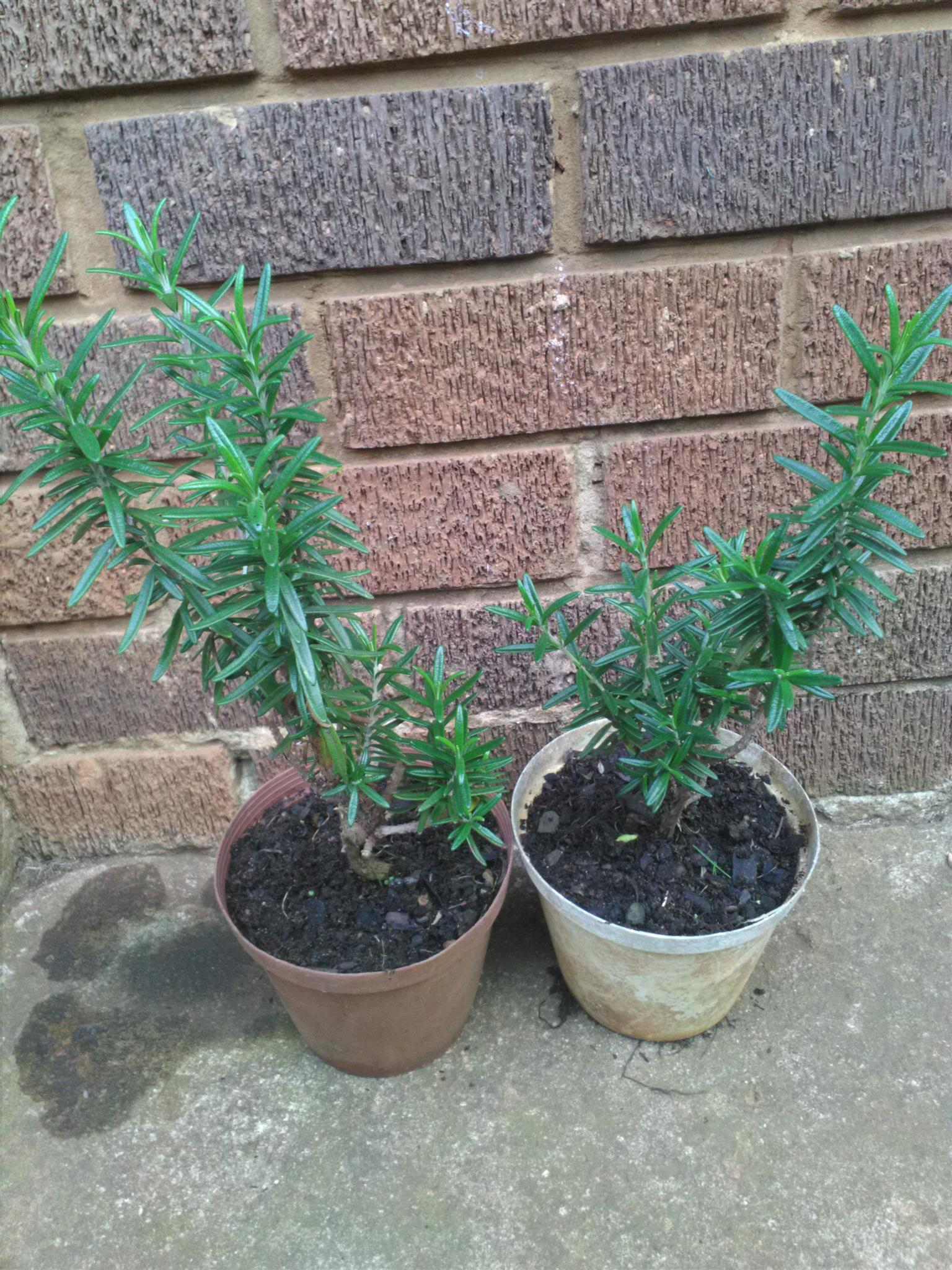 Rosemary plants for sale from R15