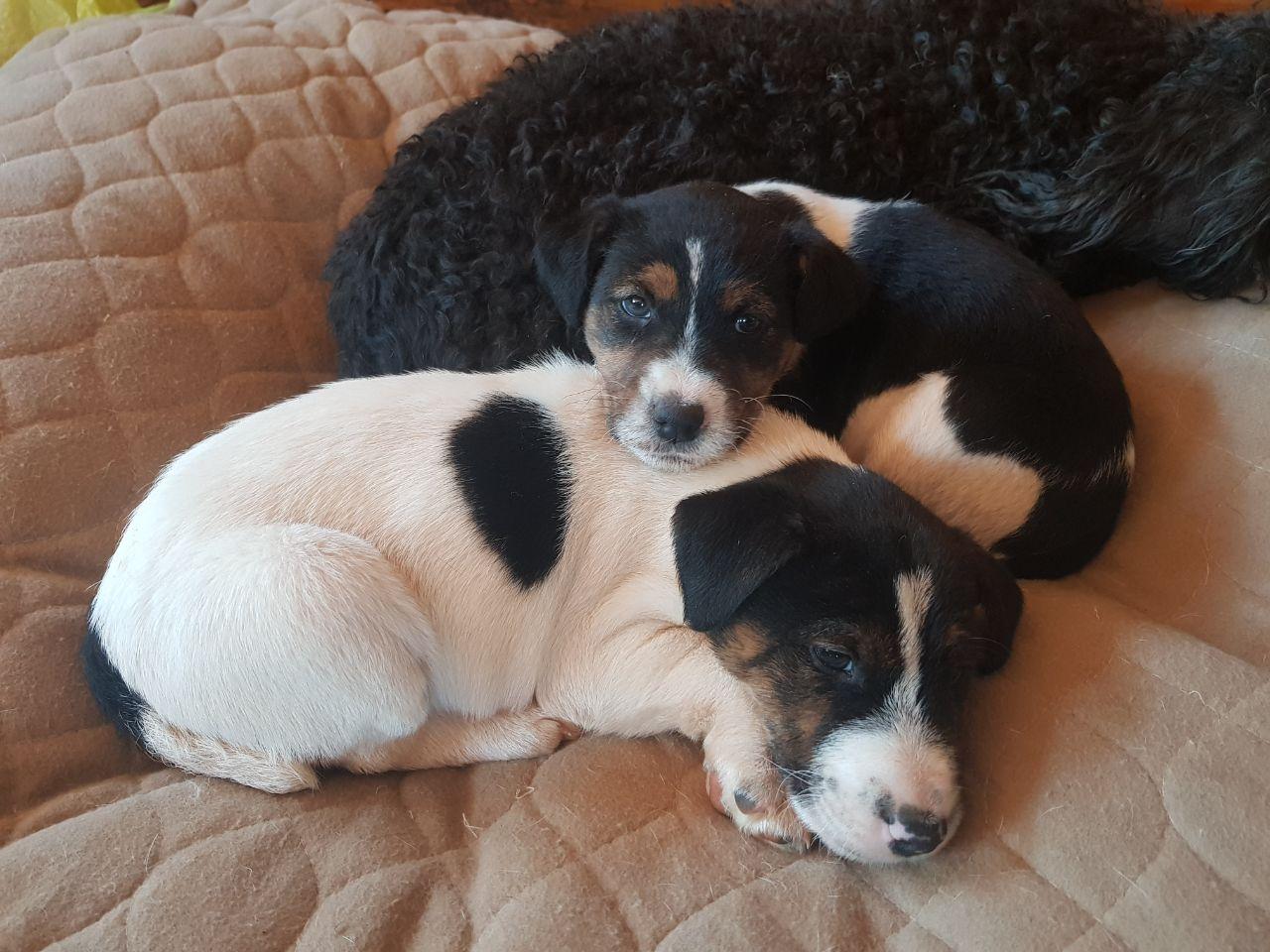 Foxterriër  Puppies
