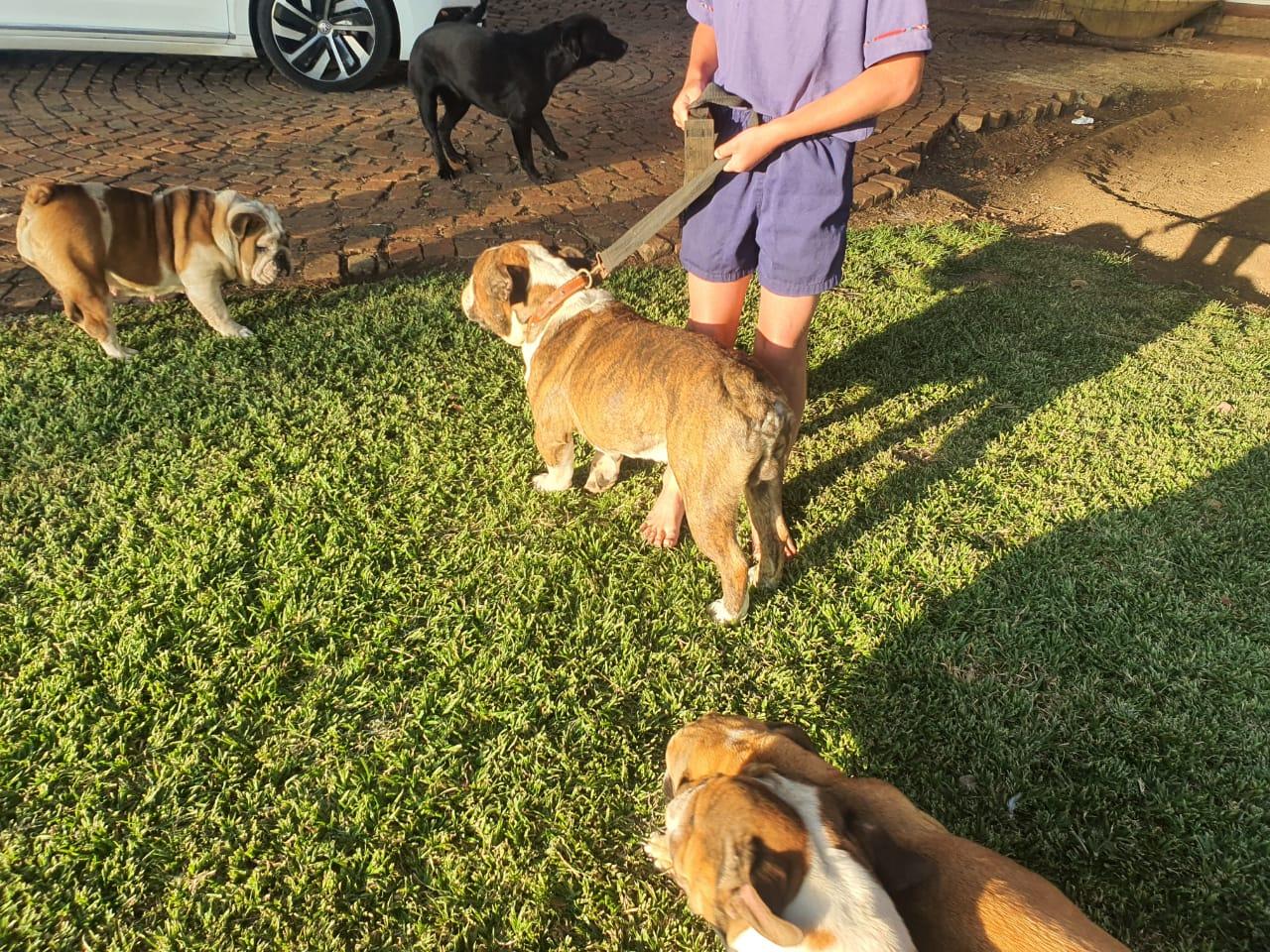 2 KUSA Registered Adult Bulldogs for Sale