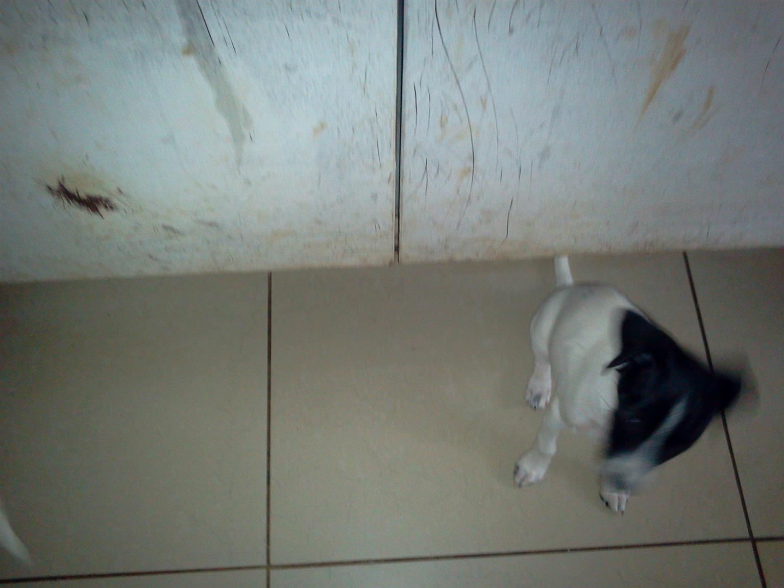 cross fox terrier and min pincer  --- and 2 dush hound puppies