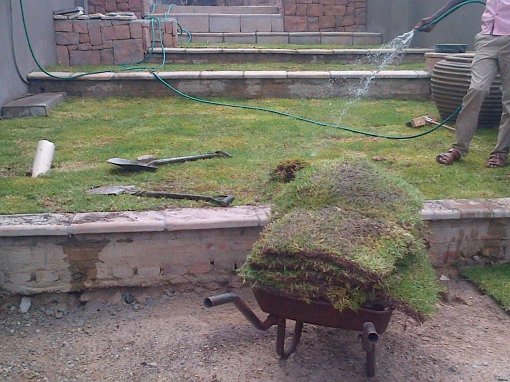 Buffalo  roll on lawn available