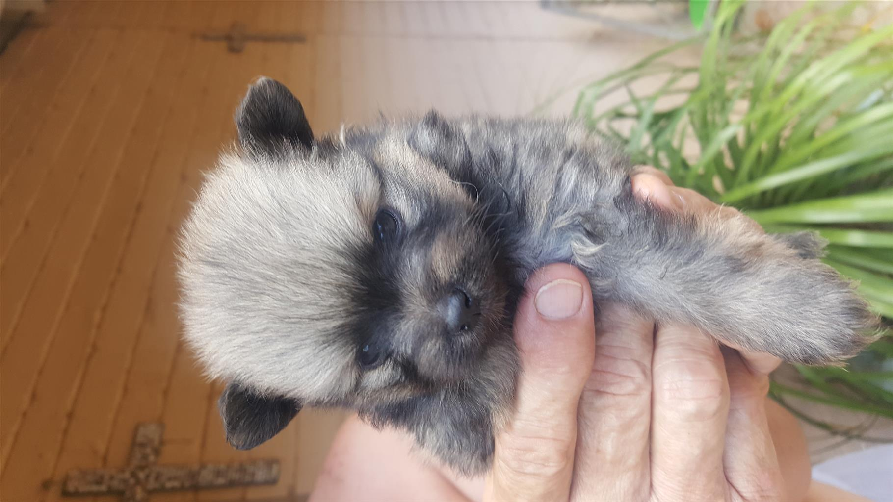 Toy Pom(Pomeranian) Feemales for sale