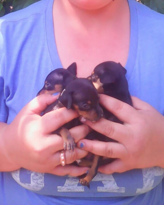 Min pincher for sale R:1500 black&tan