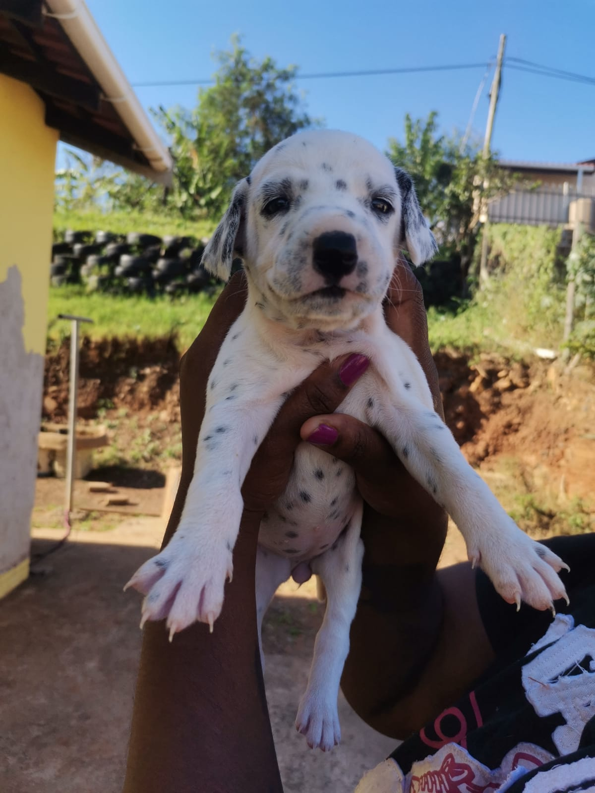 DALMATION PUPS LOOKING FOR A GOOD HOME